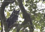 Verreaux' Oehoe - Verreaux's Eagle Owl - Bubo lacteus