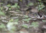 Mozambikaanse Nachtzwaluw - Long-tailed Nightjar - Caprimulgus climacurus