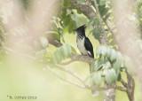 Levaillants Koekoek - Levaillant's Cuckoo - Oxylophus levaillantii