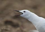 Dunbekmeeuw - Slender-billed Gull - Larus genei