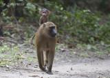 Bruine Baviaan - Baboon - Papio papio