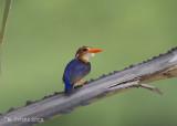 Afrikaanse Dwergijsvogel - African Pygmy Kingfisher - Ceyx pictus
