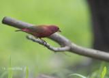 Vuurvinkje - Red-billed Firefinch - Lagonosticta senegala