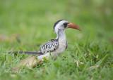 Roodsnaveltok - (Western) Red-billed Hornbill - Tockus (erythrorhynchus) kempi