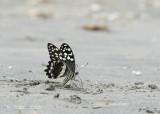 Citrus Swallowtail - Papilio demodocus
