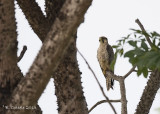 Lannervalk - Lanner Falcon - Falco biarmicus