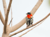 Oranjewever - Northern Red Bishop - Euplectes franciscanus
