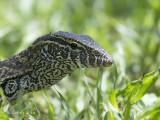 Nijlvaraan - Nile Monitor - Varanus niloticus