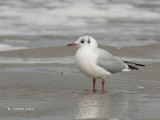 Kokmeeuw - Black-headed Gull - Larus ridibundus