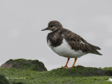 Steenloper - Ruddy Turnstone - Arenaria interpres