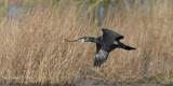 Aalscholver - Great Cormorant - Phalacrocorax carbo