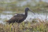 Zwarte Ibis - Glossy Ibis - Plegadis falcinellus