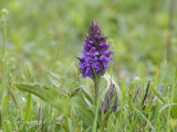 Brede Orchis - Western Marsh Orchid - Dactylorhiza majalis majalis