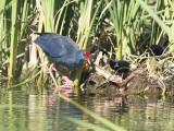 Purperkoet - Western Swamp-hen - Porphyrio porphyrio