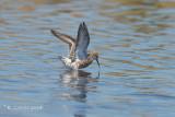 Krombekstrandloper - Curlew Sandpiper - Calidris ferruginea