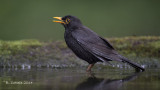 Merel - Common Blackbird - Turdus merula