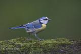 Pimpelmees - European Blue Tit - Parus caeruleus