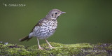 Zanglijster - Song Thrush - Turdus philomelos