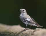Withalsvliegenvanger - Collared Flycatcher - Ficedula albicollis