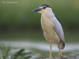 Kwak - Black-crowned Night Heron - Nycticorax nycticorax