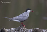 Witwangstern - Whiskered Tern - Chlidonias hybridus