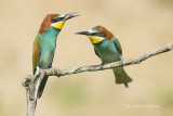 Database Birds A-F