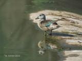Coromandeleend - Cotton Pygmy Goose