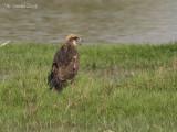 Bruine Kiekendief - Western Marsh Harrier