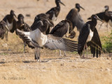 Abdimooievaar - Abdim's Stork