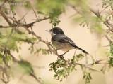Arabische Zwartkop - Arabian Warbler
