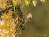 Grijskopspecht - Grey-headed Woodpecker - Picus canus
