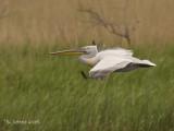 Kroeskoppelikaan - Dalmatian Pelican - Pelecanus crispus