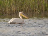 Roze Pelikaan - Great White Pelican - Pelecanus onocrotalus