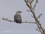 Koekoek - Common Cuckoo - Cuculus canorus