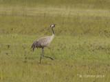 Kraanvogel - Common Crane - Grus grus
