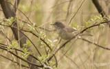 Sperwergrasmus - Barred Warbler - Sylvia nisoria