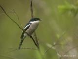 Bonte Dwergtriller - Bar-winged Flycatcher-shrike