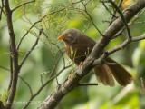 Ceylonese Babbelaar - Orange-billed Babbler