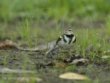 Boomkwikstaart - Forest Wagtail