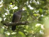 Ceylonhoutduif - Sri Lanka Woodpigeon