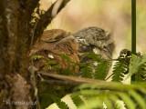 Ceylonkikkerbek - Sri Lanka Frogmouth