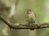 Bamboevliegenvanger - Brown-breasted Flycatcher