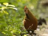 Ceylonhoen - Sri Lanka Junglefowl