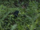 Ceylonspoorkoekoek - Green-billed Coucal