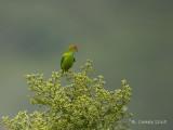 Ceylonese Vleermuisparkiet - Sri Lanka Hanging Parrot