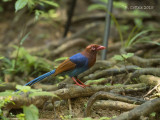 Blauwe Kitta - Sri Lanka Blue Magpie