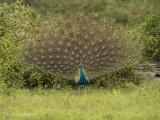 Blauwe Pauw - Indian Peafowl