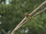 Bruinkopbaardvogel - Brown-headed Barbet