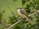 Bruine Klauwier - Brown Shrike