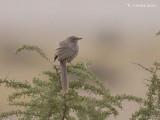 Arabische Babbelaar - Arabian Babbler